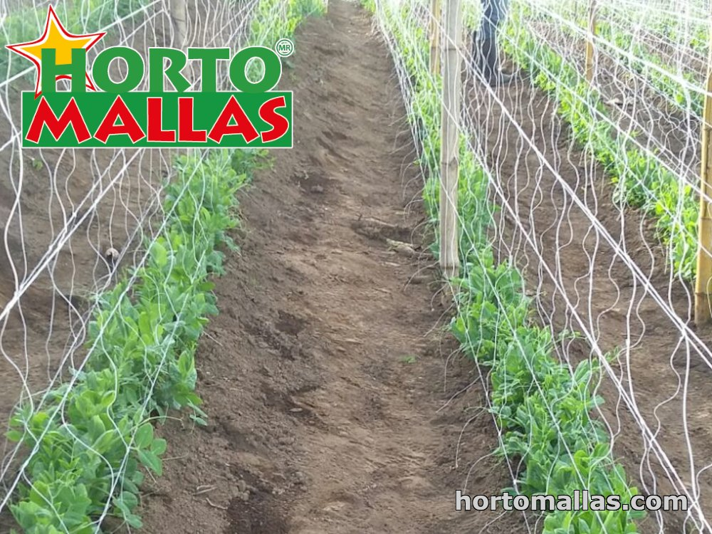 vertical support system applied on tomato crops