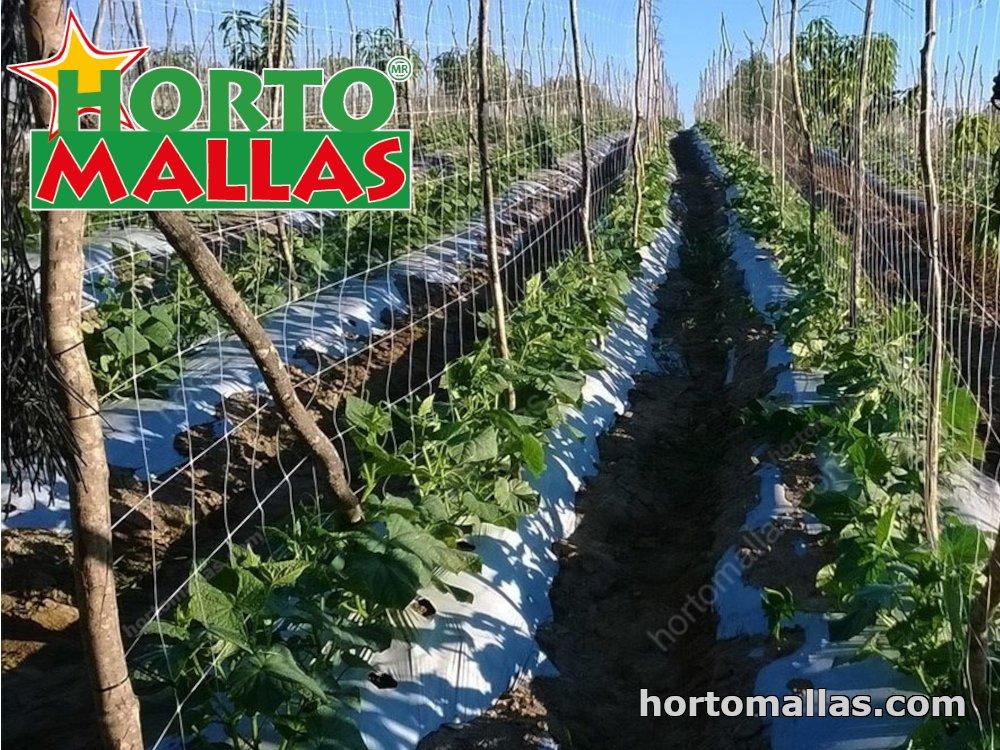 Tutoring cucumber plants