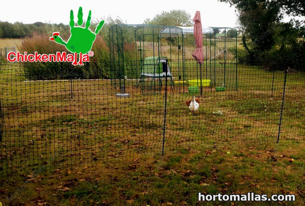 poultry netting used in the backyard with free range chicken