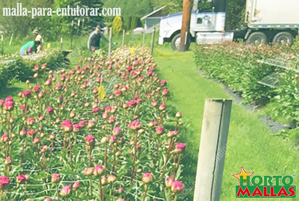 Fotos de Crisantemo