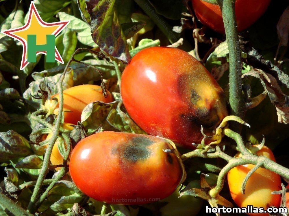 tizón tomate
