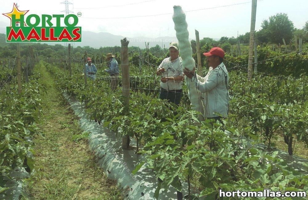 tutoreo de tomates