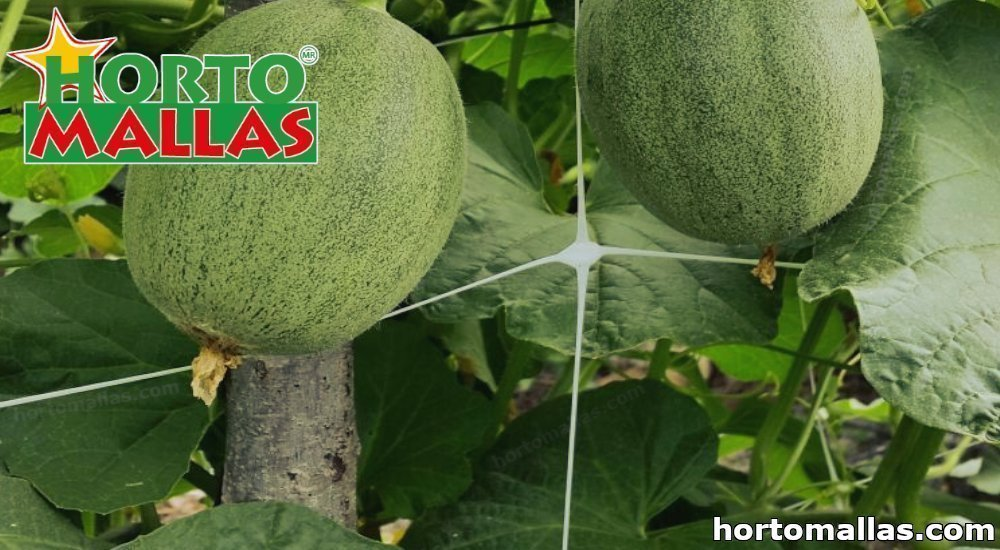 entutorar melones