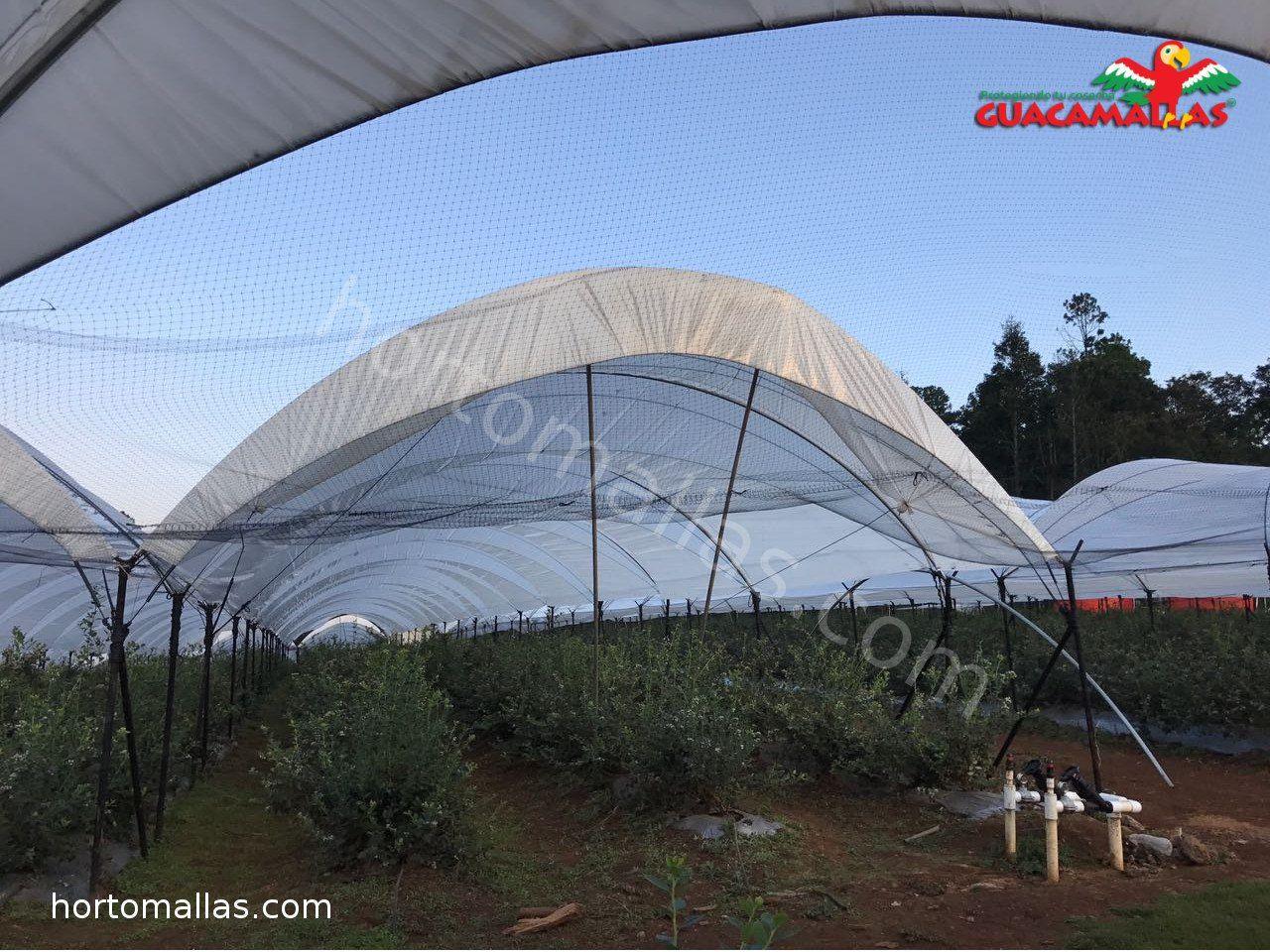 Cultivo de berries siendo protegido por malla anti-pájaros
