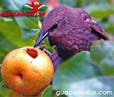 Ave comiendo frutos sin malla anti-aves GUACAMALLAS