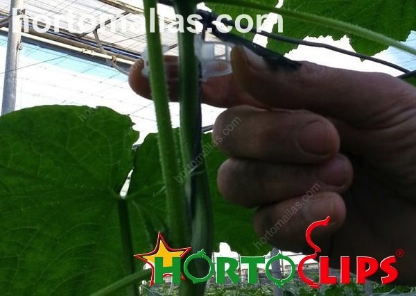 installing HORTOCLIPS clip in cucumber plant