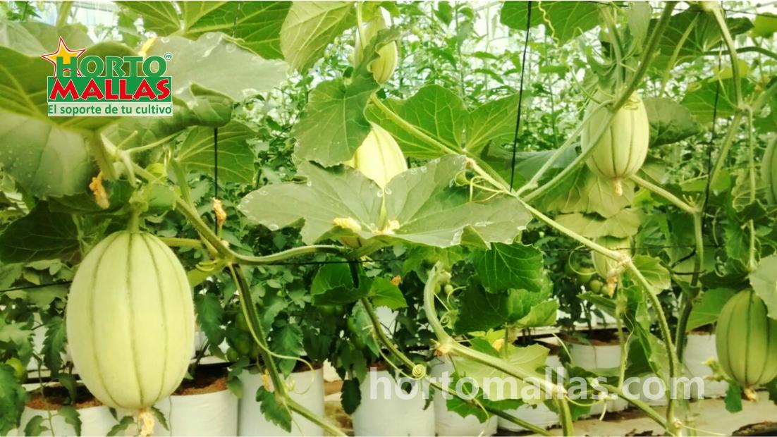Galleria meloni hortomallas sostenendo il tuo raccolto for Coltivare meloni