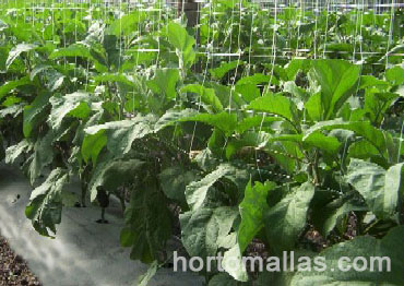 Agricultural raffia twine was substituted by HORTOMALLAS® trellis net in this eggplant field