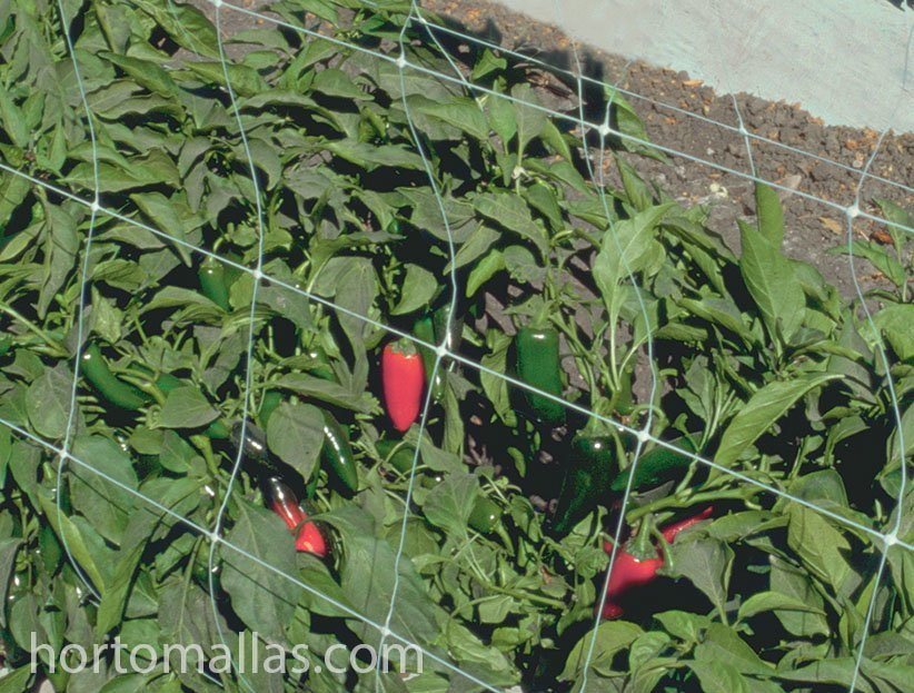 HORTOMALLAS crop net installed to support jalapeño chili peppers.