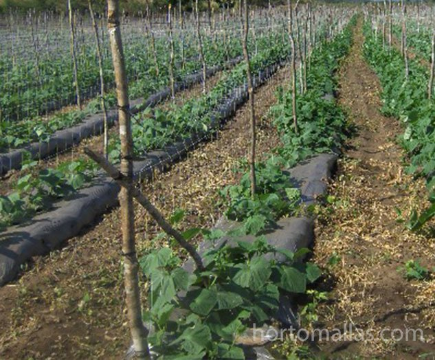 how to support cucumber plants
