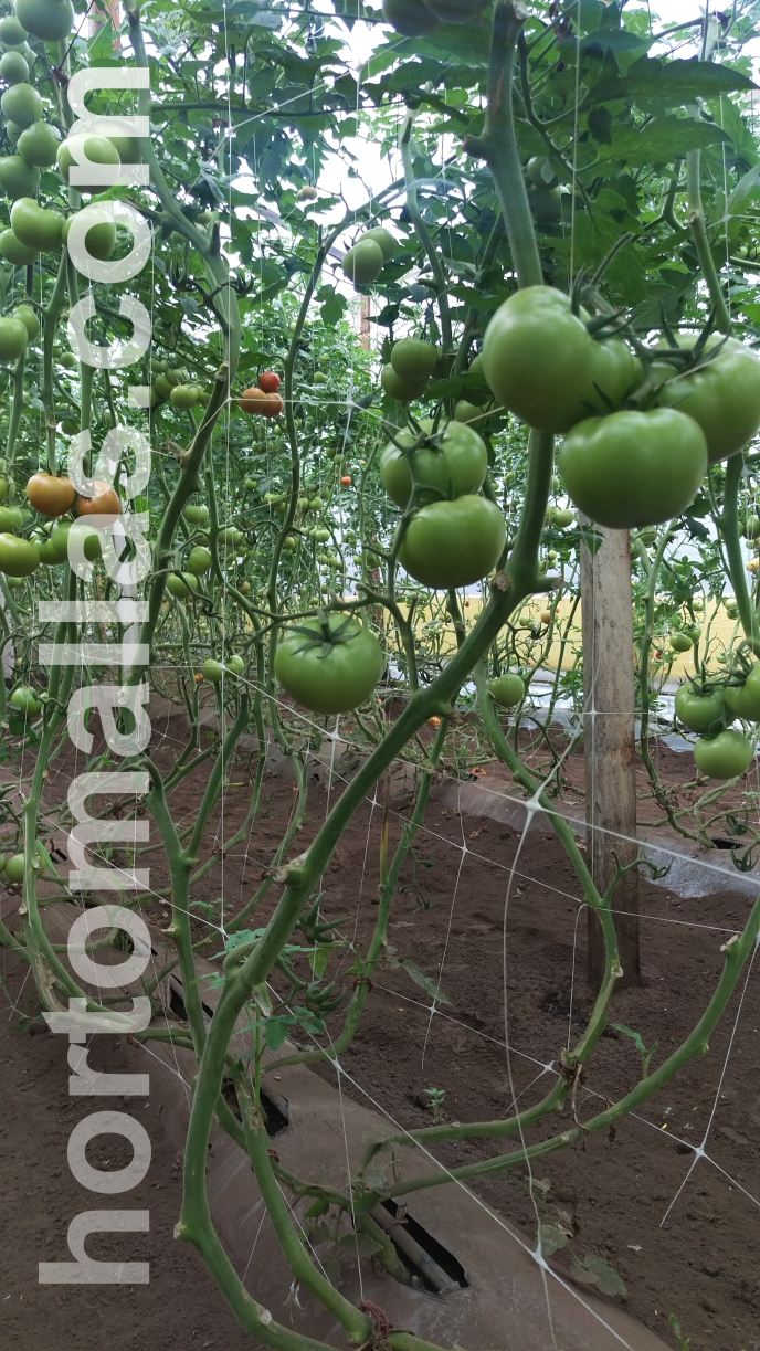 Tomato Photo Gallery - HORTOMALLAS™, supporting your crop