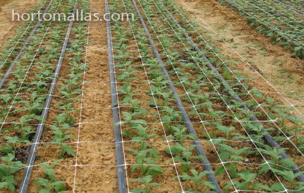 cultivo de claveles con sistema de riego con soporte HORTOMALLAS