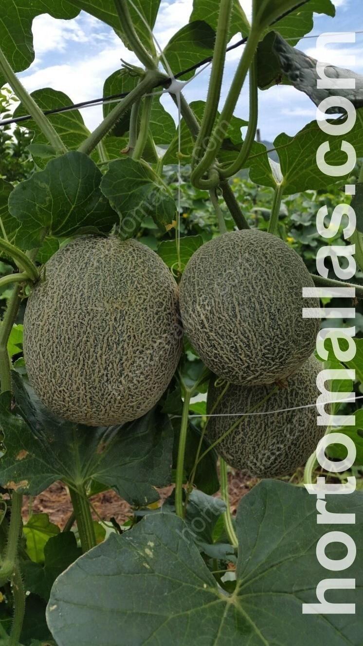 Cultivo de melón en campo abierto entutorado con malla espaldera HORTOMALLAS