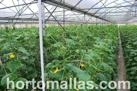 Cultivo de pepino en invernader entutorado con sistema de espaldera de malla HORTOMALLAS® detalle del amarre a la estructura
